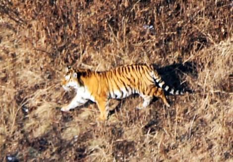 В Приморье патрулируют территорию обитания амурского тигра с воздуха