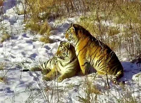 Мобильный госпиталь для тигров появился в Приморье