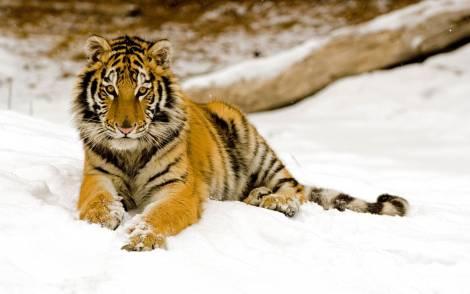 В Хабаровском крае тигрица