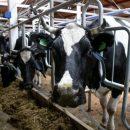 Более 130 тысяч тонн молока произведено в Приморье за год