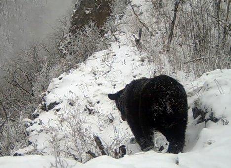 В Приморье медведи отложили зимнюю спячку