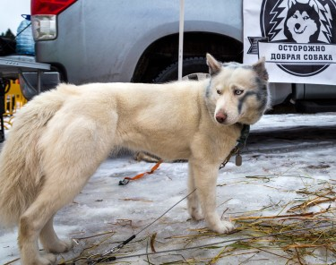 Второй день гонок на собачьих упряжках «По земле Сампо» завершился в Петрозаводске