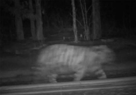 Тигрица Золушка, спасенная в Приморье, второй раз стала мамой