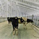 На Сахалин из Приморья доставили 222 коровы голштинской породы
