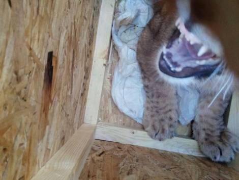 В Хабаровском аэропорту задержали львицу Киру без