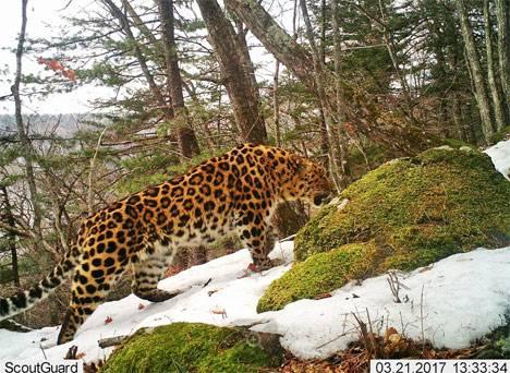 В Приморье 400 автоматических камер следят за дальневосточным леопардом