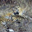 В Приморье впервые в России начали реабилитацию тигриной семьи