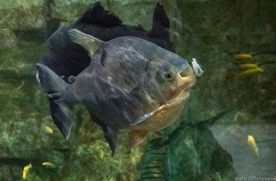 Пираньи в Приморском океанариуме не спешат показывать зубы