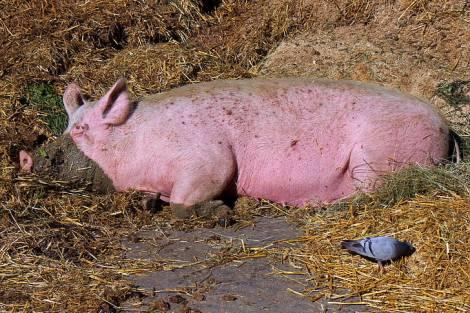 Хабаровских свиней режут газом