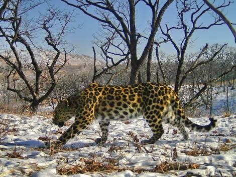 Впервые имя дальневосточному леопарду выбрали пользователи соцсетей