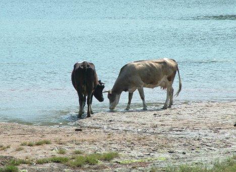 Вьетнамским коровам тесно в Приморском крае