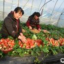 Клубника из Китая оказалась напичкана антибиотиками и пестицидами