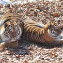 По тигриному следу