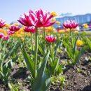 Яркий Владивосток: город украшен тысячами цветов