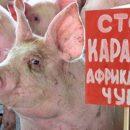 Приморским свиньям необходима прививка от африканской чумы