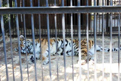 В Приморье тигра ставят на фотоучет