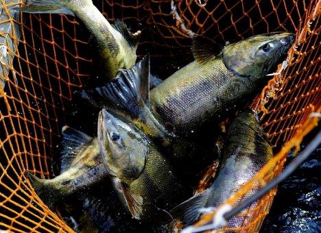 Во Владивостоке всеми любимая тернейская рыба продается по 100 рублей за килограмм