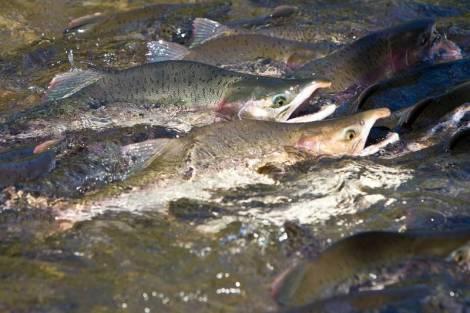 Рыбаки Сахалина добыли больше 52 тыс. тонн лосося