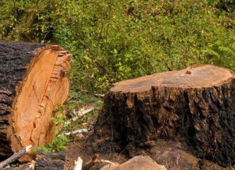Деревья во Владивостоке уничтожают сотнями