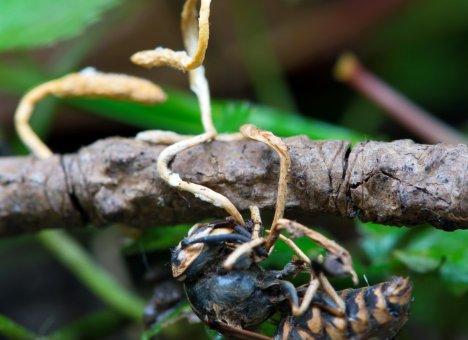 Грибы-убийцы и насекомые-зомби исследованы в Приморье