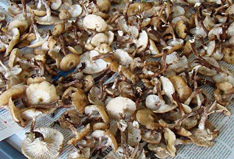 Большая грибная охота во Владивостоке и пригородах продлится до октября