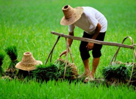 В Приморье рисовые чеки меняют собственников