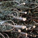 В Приморье выявили крупную незаконную рубку деревьев