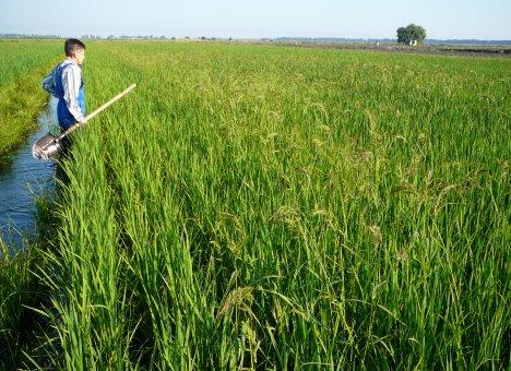 Корейцы переели приморского риса
