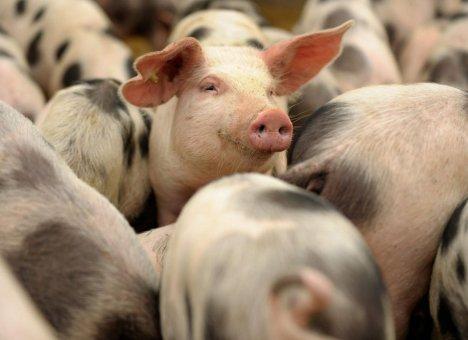На свинокомплексе в Приморье выявлен ящур