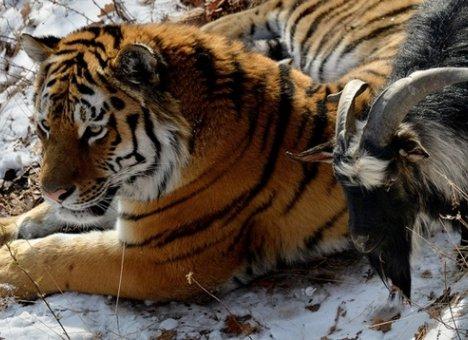 Знаменитого на весь мир тигра Амур забирают из Приморья