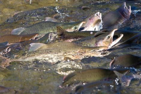 В Год лосося улов любимой рыбы на Дальнем Востоке решили увеличить