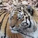 Тигр Амур станет собственностью Приморского края