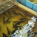 Рыбе готовят экосертификаты