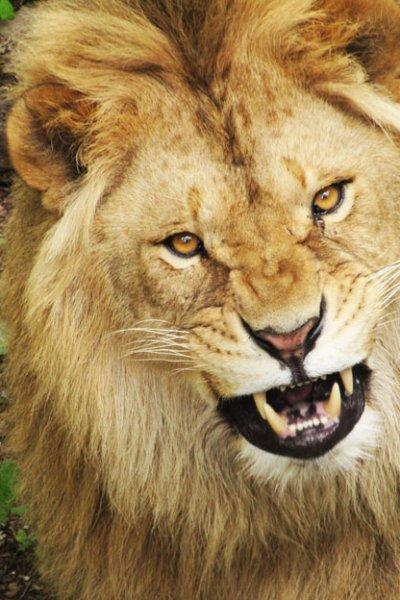 Лев из приморской тайги