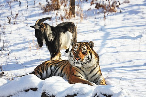 В Приморье появятся парки белоплечих орланов, росомах, красных и серых волков