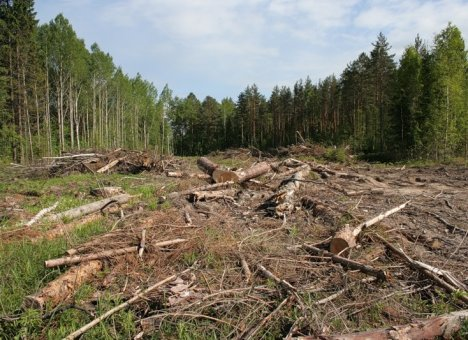 Японцы хотят отправить приморский лес в топку