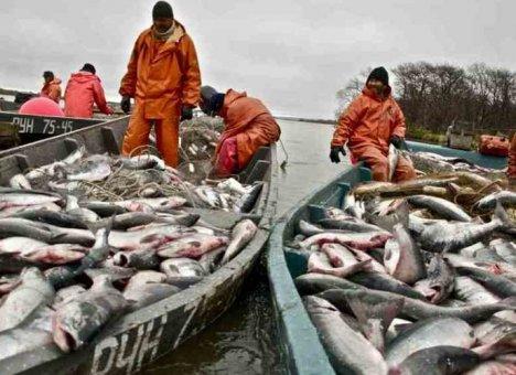 Приморцы резко увеличили вылов красной рыбы