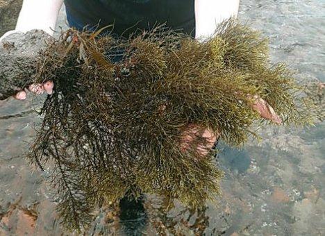 Редкая водоросль найдена в Приморье