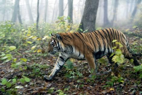 Амурскому тигру нужен безопасный коридор для перехода в Китай