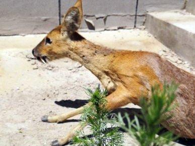 Новый вид оленей обнаружен в Приморье