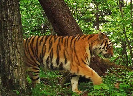 Новая беда может обрушиться на тигров в Приморье