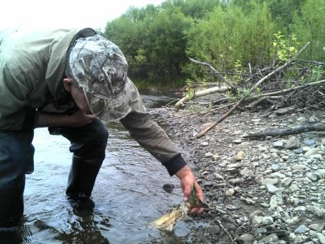 Популяция летних лососей в бассейне Амура подорвана окончательно