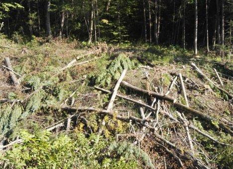 Владивосток продолжает терять лес