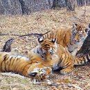 Редчайшие видеокадры диких амурских тигров получены в нацпарке