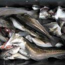 Камчатские рыбаки выловили около 40 тысяч тонн минтая с начала 2020 года