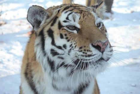 В Приморье на Восточном Синем хребте насчитали 11 амурских тигров