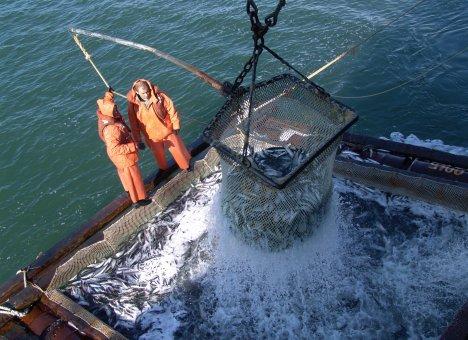 Вслед за крабами на аукционы отправляют рыбу