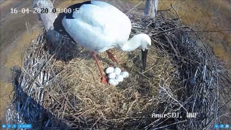 Шесть яиц в одном гнезде:
