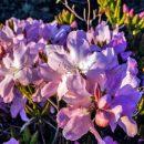 В Приморье цветет краснокнижный рододендрон Шлиппенбаха