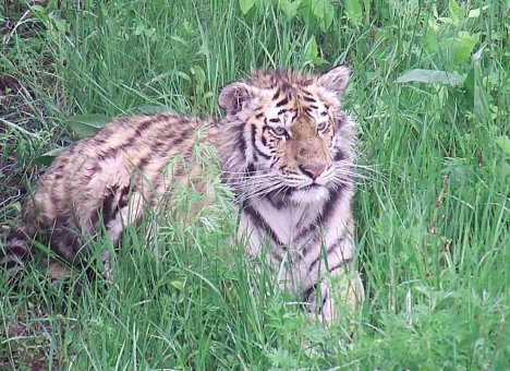 Тигрица, спасенная в Приморье, идет на поправку